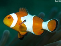Clown anemonefish - Amphiprion percula - Trauerband Anemonenfisch