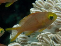Yellow chromis (damselfish) - Chromis analis - Gelber Chromis (Riffbarsch)