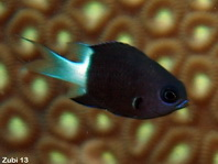 Bicolor chromis (damselfish) - Chromis margaritifer - Zweifarben-Chromis (Riffbarsch)