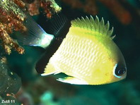 Black-bar chromis (damselfish) - Chromis retrofasciata - Trauerband-Chromis (Riffbarsch)