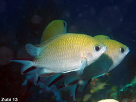 Philippines chromis (damselfish) - Chromis scotochiloptera - Philippinen-Chromis (Riffbarsch)