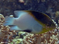 Black vent Damselfish - Dischistodus melanotus - Afterfleck-Riffbarsch