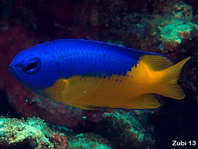Goldbelly Damselfish - Pomacentrus auriventris - Goldbauch Demoiselle (Riffbarsch)