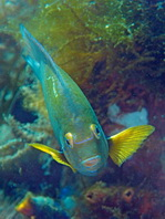 Smith's Damselfish - Pomacentrus smithi - Smiths Demoiselle (Riffbarsch)