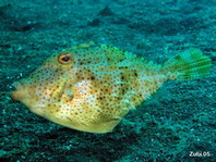 Smallspotted leatherjacket (Strap-weed File-fish) - Pseudomonacanthus macrurus - Algen-Feilenfisch