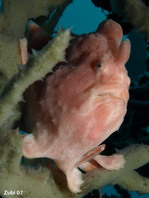Giant frogfish - <em>Antennarius commerson</em> (commersonii) - Riesen Anglerfisch