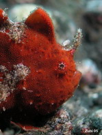 Lembeh Frogfish - Antennarius sp - Lembeh Anglerfisch