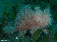 Striped or hairy frogfish - Antennarius striatus - Gestreifter Anglerfisch