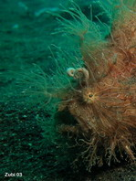 Striped or hairy frogfish - <em>Antennarius striatus</em> - Gestreifter Anglerfisch