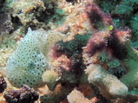 Cryptic Frogfish / Rodless Frogfish - <em>Histiophryne cryptacanthus</em> - Verborgener Anglerfisch