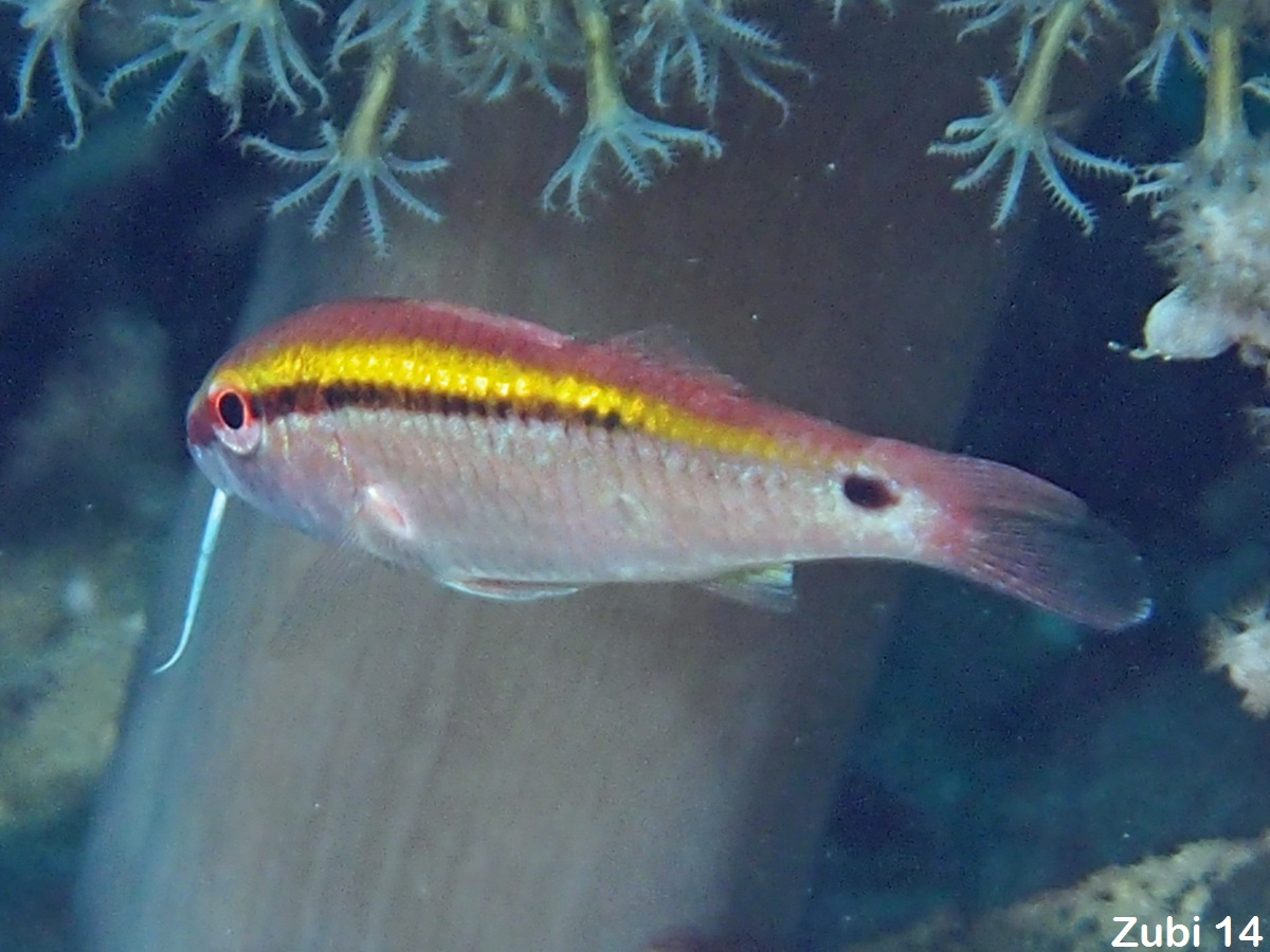 Dash-and-Dot-Goatfish - Parupeneus barberinus - Strich-Punkt-Meerbarbe