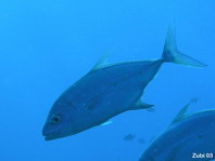 Yellowspotted Trevally - Carangoides orthogrammus - Goldflecken Makrele