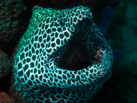 Honeycomb Moray Eel - Gymnothorax favagineus - Grosse Netzmuräne