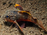 Painted Stingfish (Stinger) - Minous trachycephalus (before M. pictus) - Stingfisch