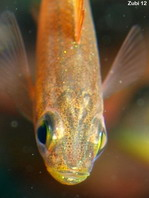 Pygmy Sweeper (Golden Sweeper) - <em>Parapriacanthus ransonneti</em> - Goldener Glasfisch