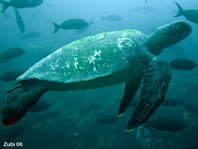 Green Sea Turtle - Chelonia mydas - Suppenschildkröte