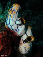 Golden Sea Squirt - Polycarpa aurata - Gold-Seescheide