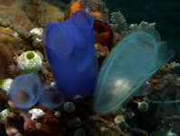 Sea Squirt  / Tunicates / Ascidians - Seescheide