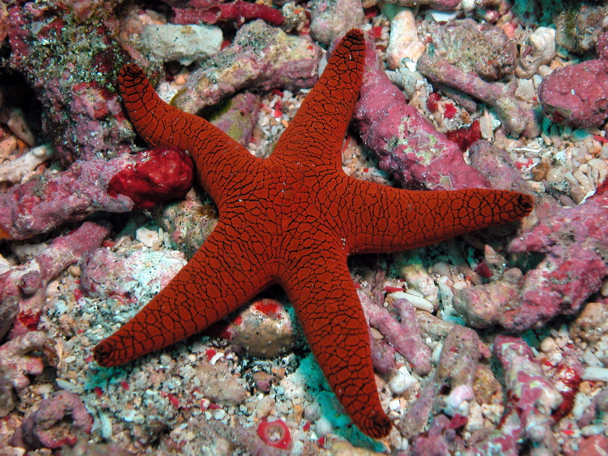 2 classes of echinoderms