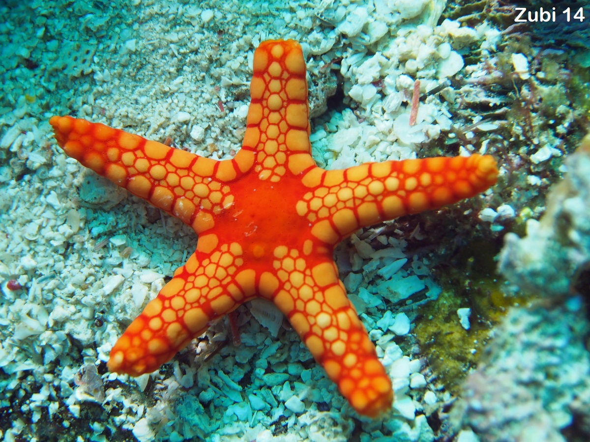 Echinoderm asexual reproduction advantages