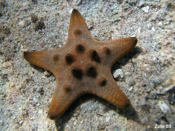 Echinoderms Starfish Brittle Star Sea Urchin Feather Star Sea