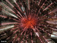 Pinnules of a feather star (Pontiometra) coated to help catch