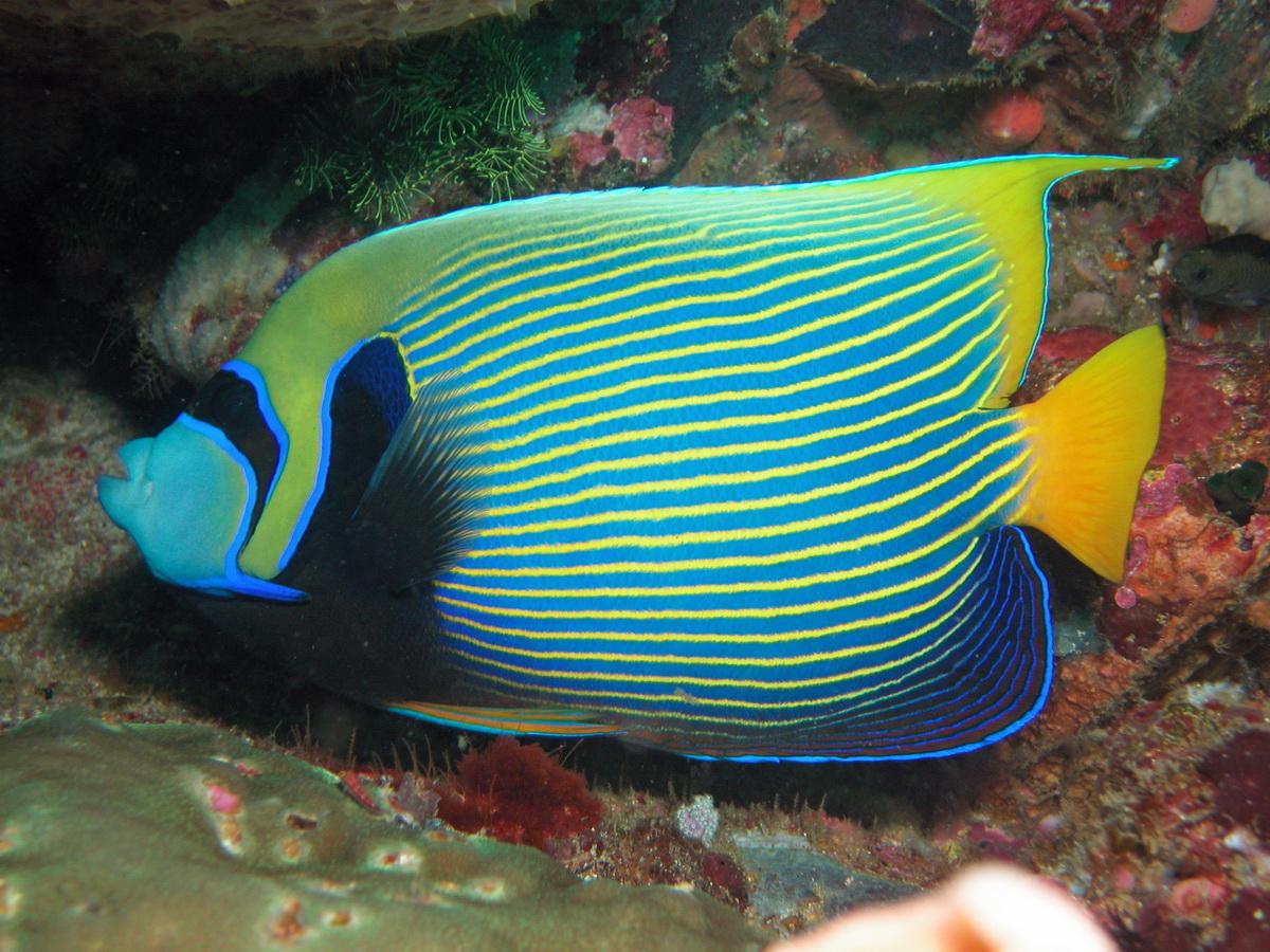 Фото рыба ангел красного моря результате получится