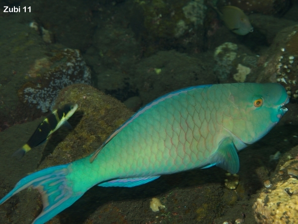 Parrotfishes - Starfish Photos - Papageifische