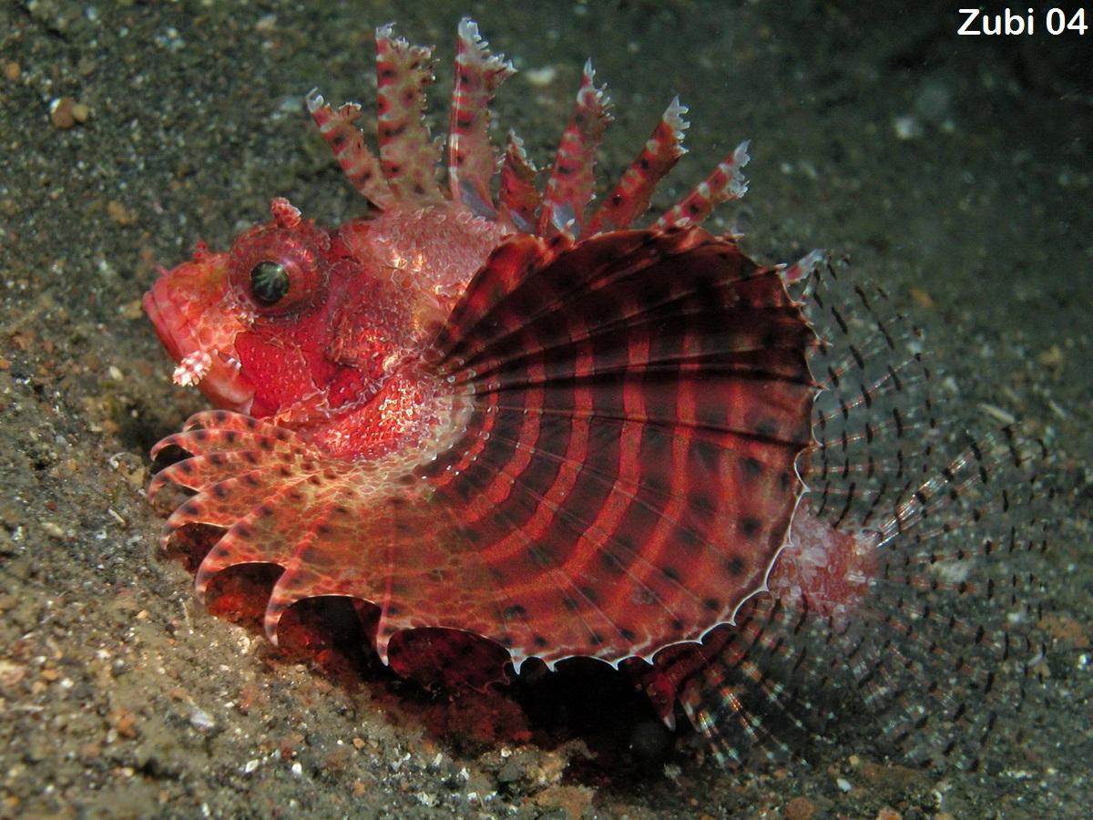 Scorpionfishes (Scorpaenidae): lionfish, stonefish, Rhinopias ...