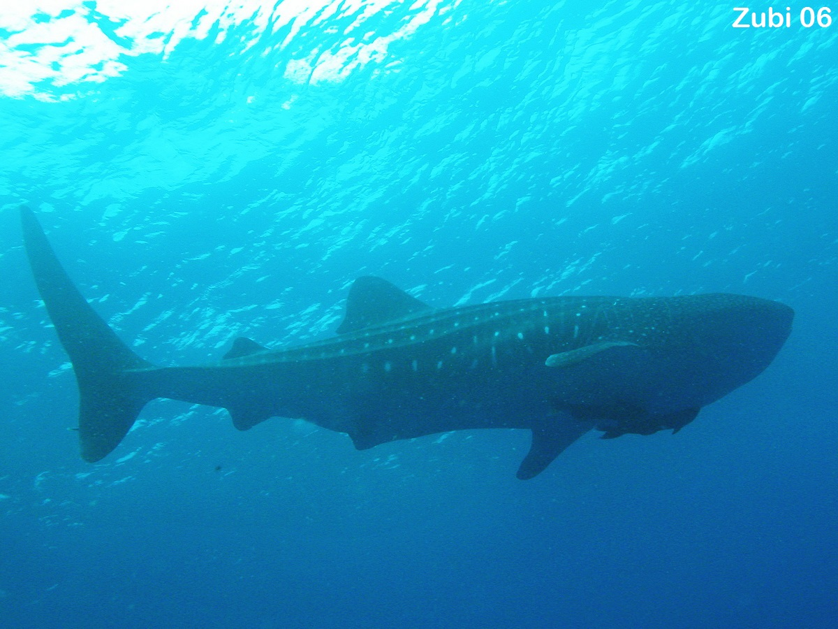 Sharks (Selachii) -whale shark, requiem shark, bamboo shark, cat ...