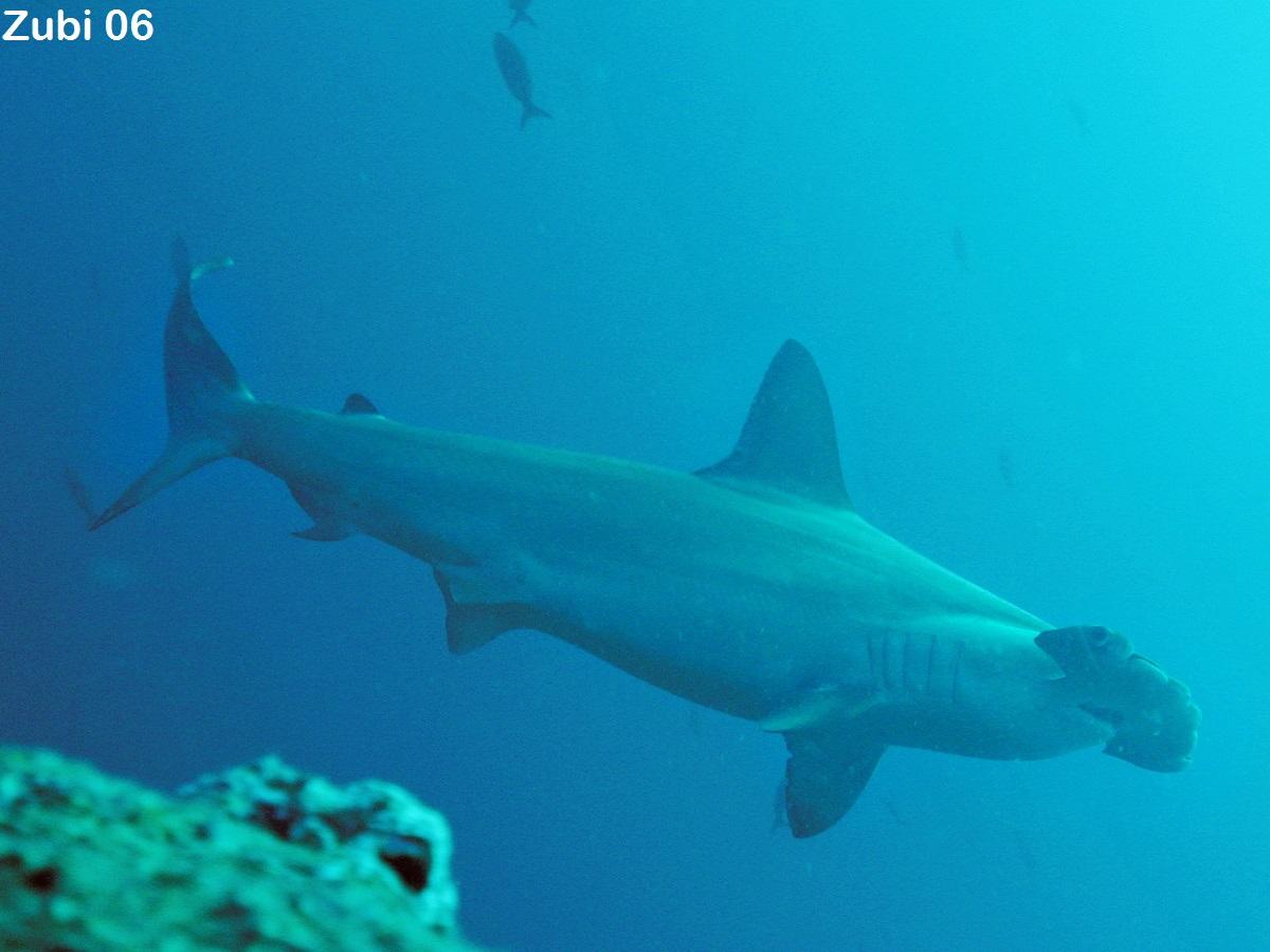 sharks selachii whale shark requiem shark bamboo shark cat