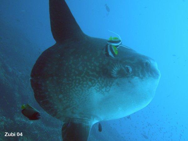 Fish: sunfish (Mola mola, Masturus lanceolatus, Ranzania laevis) : Characteristics, behavior ...