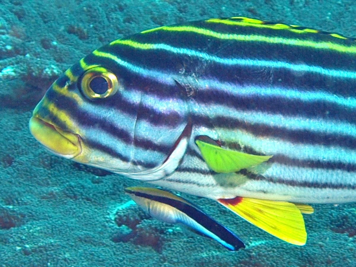 2. Knochenfische Suesslippen - Haemulidae - Merkmale, Vorkommen ...