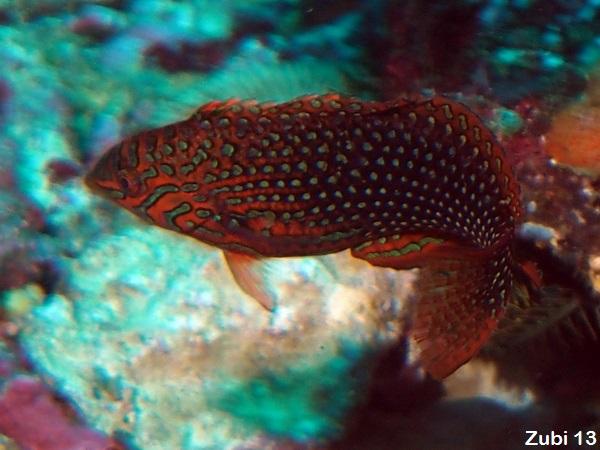 Wrasses, Cleaner wrasses - Starfish Photos - Lippfische ... - photo#26